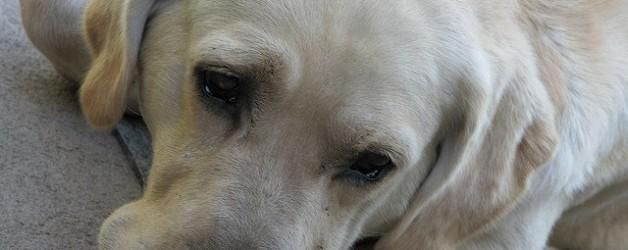 Los perros también se estresan